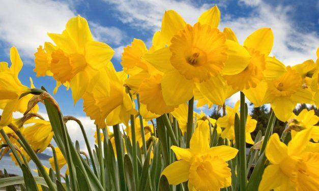 Så får du liljorna på marken att blomma länge inomhus