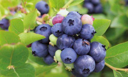 Amerikanska blåbär är årets mest spännande nyhet