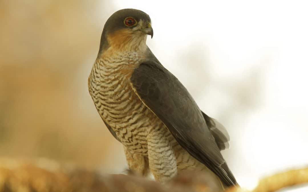 goshawk, accipiter, bird