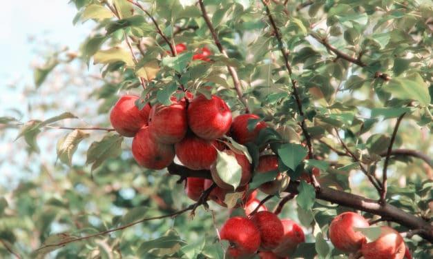 Blöt vår 2021 ger nyttigare äpplen